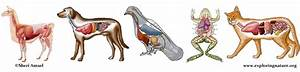 Animal Anatomy  Veterinary Diagrams