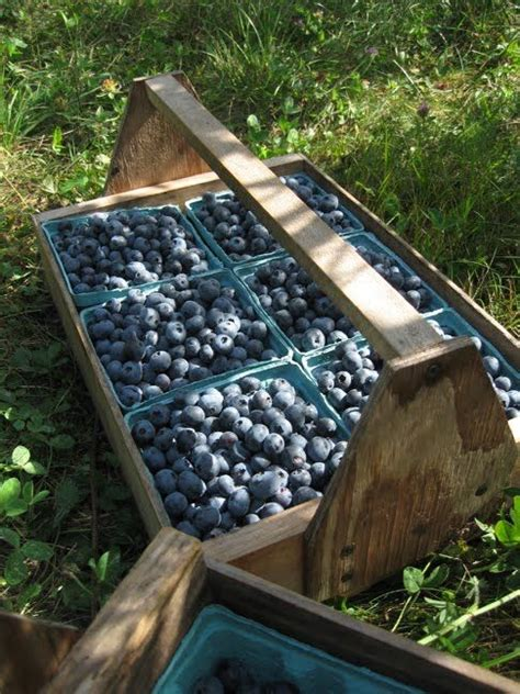 17 Best Images About Blueberries On Pinterest Blueberry