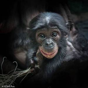 An infant bonobo looks surprised into the camera, posted ...