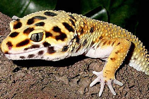 spotted gecko no room for a pony in the house pets children easycare ask metafilter