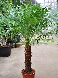 Dattelpalme Zwergdattelpalme 40 50 Stamm Palmen