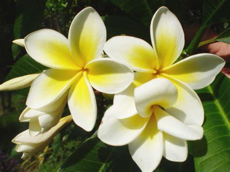 winter bloemen australie frangipani aussie organic gardening moon planting