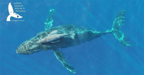 rare drone footage   humpback whale minutes  birth
