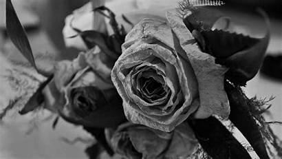Rose Roses Ultra Bouquet Wallpapers Dark Memories