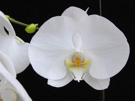 phalaenopsis orchid phalaenopsis orchid the tony brewer co blog