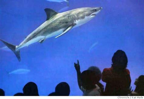Monterey Boats Revenue by Lamniformes Great White Shark