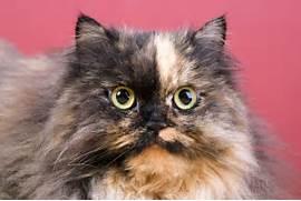 Tortoiseshell Cats   Pets4HomesTorbie Cat