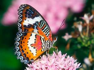 HD Butterfly Wallpapers For Desktop | High Definition ...