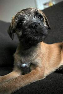 Border Terrier pup | Border terrier, Dogs, Cute dogs