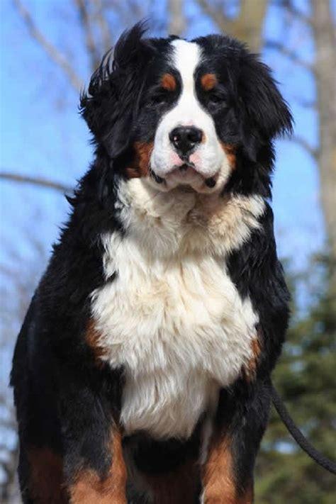 meer dan 1000 ideeën over sint bernardshonden op pinterest berghonden honden en puppies