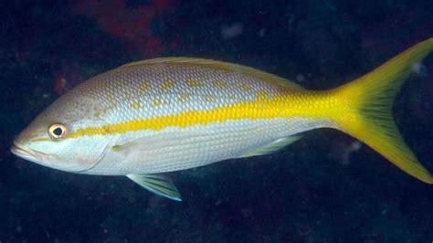 snapper yellowtail fishing keys fl commercial flkeysnews local anglers hear closure