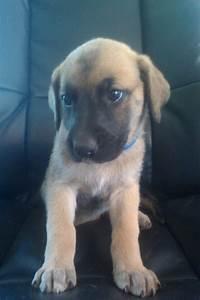 German Shepherd/Great Dane Puppies For Sale!! | dogs ...