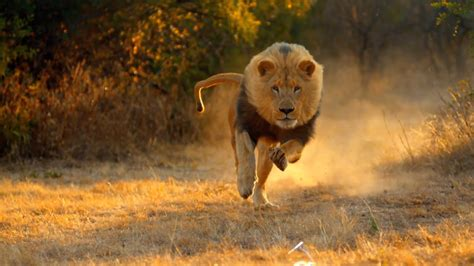 lion hunting  hd documentary national geographic