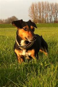 Would love a dog in a couple of years. Jack Russel, Black ...