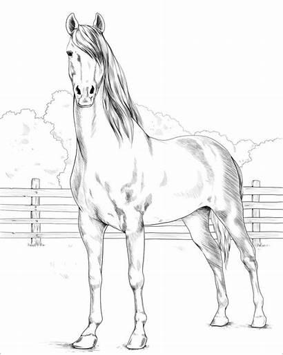 Horse Morgan Coloring Pferde Ausmalbilder Horses Printable