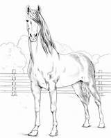 Horse Morgan Coloring Pferde Ausmalbilder Horses Printable Zum Pferd Kolorowanki Ausdrucken Kostenlos Malvorlagen Ausmalen Adult Malvorlage Ausmalbild Animal Sheets Wild sketch template
