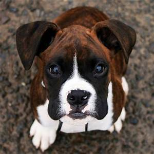 Quiz: How Well Do You Know About Boxer Dogs?