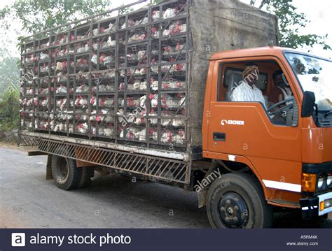 cagedlive chickens  transported  lorry  orissa