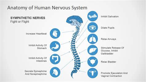 anatomy of human nervous system slide design for powerpoint slidemodel