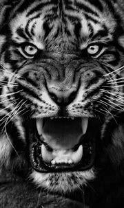 Black and Grey Tiger | Zoo animals, Wild cats, Animals ...