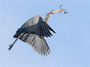 The Quiet Giant With A Raucous Rookery: A Great Blue Heron ...