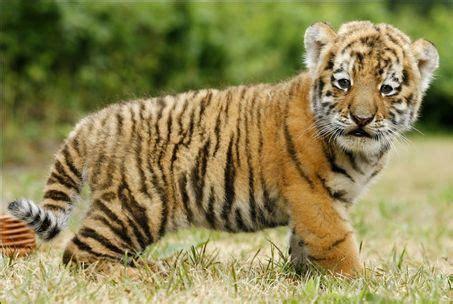 Tiger Cub Tigers Photo Fanpop