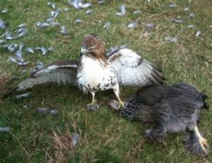 Red-tailed Hawk Eat Chickens