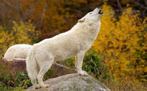 Wolf Wallpaper Real by White Wolf Photos Hd Hd Pictures