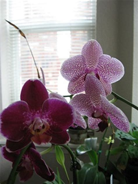 orchids rebloom tips for getting orchids to rebloom
