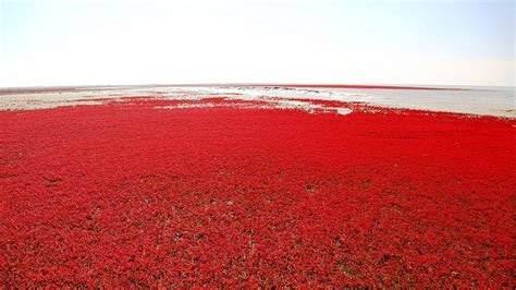 Panjin Red Beach Hd Wallpapers