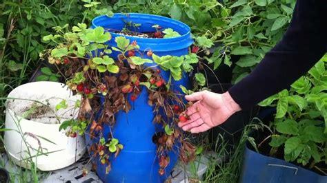 strawberries grow   plastic barrel ireland youtube