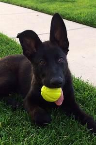 Best 25+ Black german shepherd puppies ideas on Pinterest ...