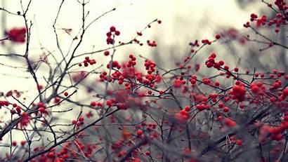 Berries Winter Berry Wallpapers Frozen Branches Wallpapersafari
