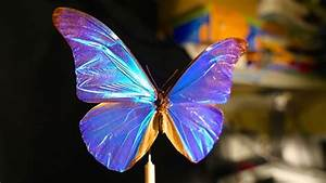 What Gives The Morpho Butterfly Its Magnificent Blue