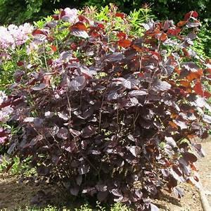 Plantes Et Jardin : noisetier pourpre plantes et jardins ~ Melissatoandfro.com Idées de Décoration