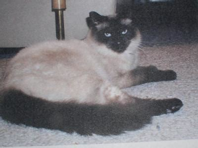 great cat names great cat names for siamese cats