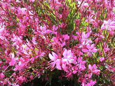 Ta Da Best Actor Winner Oscars Perennials by Plume Flower Jacobinia Carnea Pretty Flowers