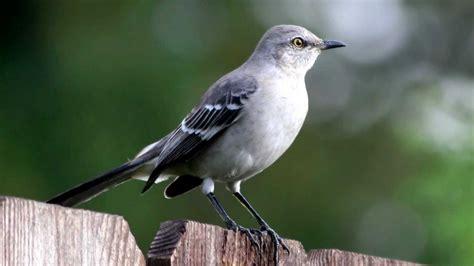 mockingbird call bird song youtube