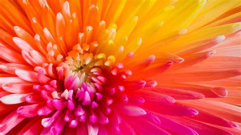 wallpaper colourful flowers  hd wallpaper flowers