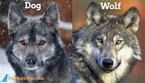 12 Dogs That Look Like Wolves - (The Best Wolf Dog Breeds)