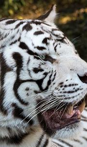 White Tiger Portrait 2 | Another shot of a White Bengal ...