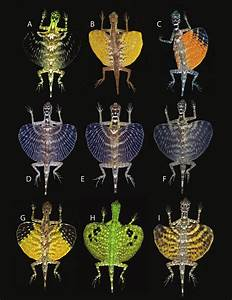 U2014representative Patagia Of Draco Lineatus Group Males   A