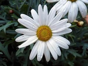 Dendranthema Hybride Balkon : balkonblumen terrassenblumen topfblumen ~ Lizthompson.info Haus und Dekorationen