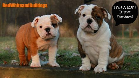 how much do american bulldogs shed save yourself some the bulldog akc standard