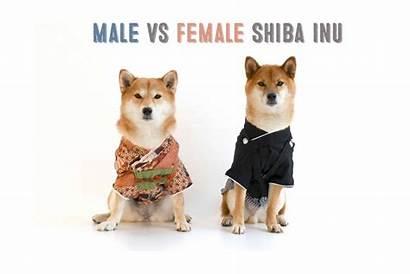 Male Female Shiba Inu Appearance Inus Myfirstshiba