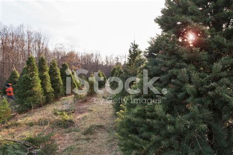 christmas trees for rows of christmas trees on a tree farm stock photos 7572