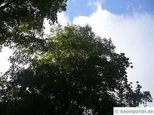 Linde Baum Steckbrief : mongolische linde tilia mongolica ~ Orissabook.com Haus und Dekorationen