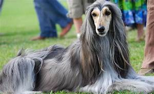 Afghan Hound Sitting On Grass - DesiComments.com