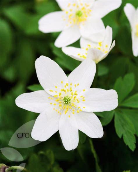 buy wood anemone bulbs anemone nemorosa