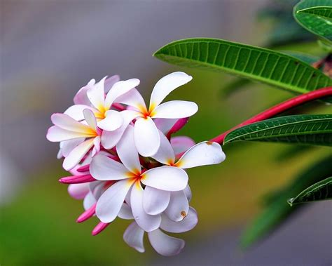 frangipani fresh flowers photography wallpaper preview
